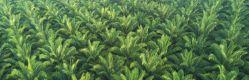 Liberia: Waiting on Palm Oil